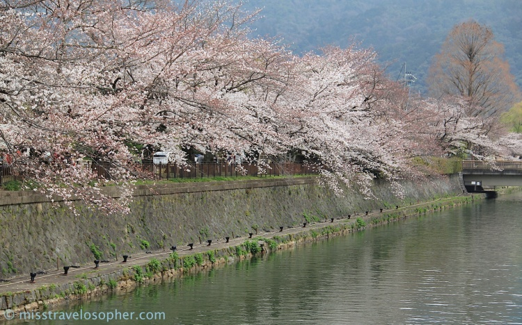 Cherry trees lining the canal just outside Heian Shrine