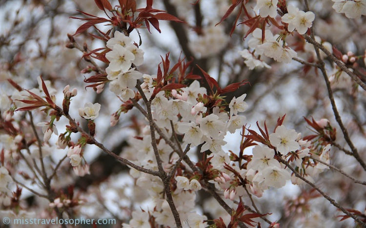 Yamazakura type of cherry blossom: fresh bronze leaves and blooms appearing at the same time