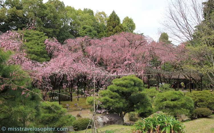 Lots of pink weeping cherry trees in the garden