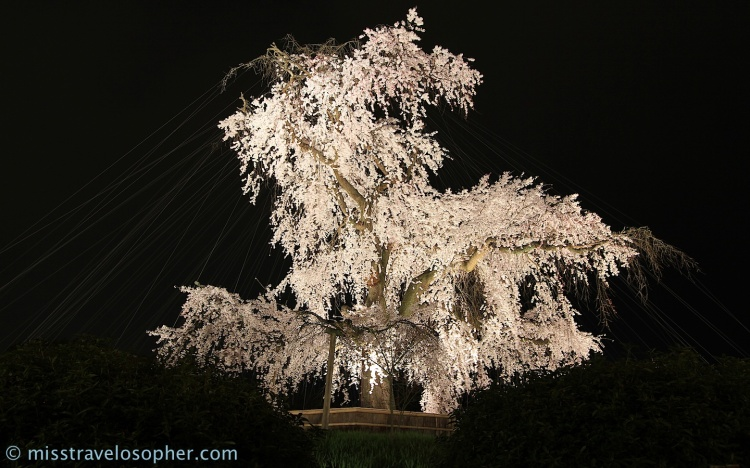 The gigantic weeping cherry tree at Maruyama Park