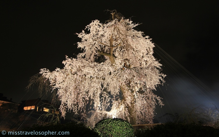 The cherry tree is protected by a veil of wires to fend off the birds