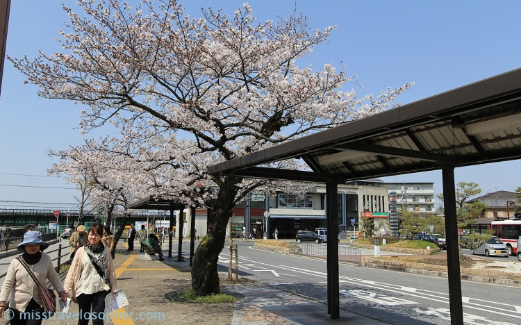 Pretty cherry tree beside a bus stop just outside the Keihan Uji train station