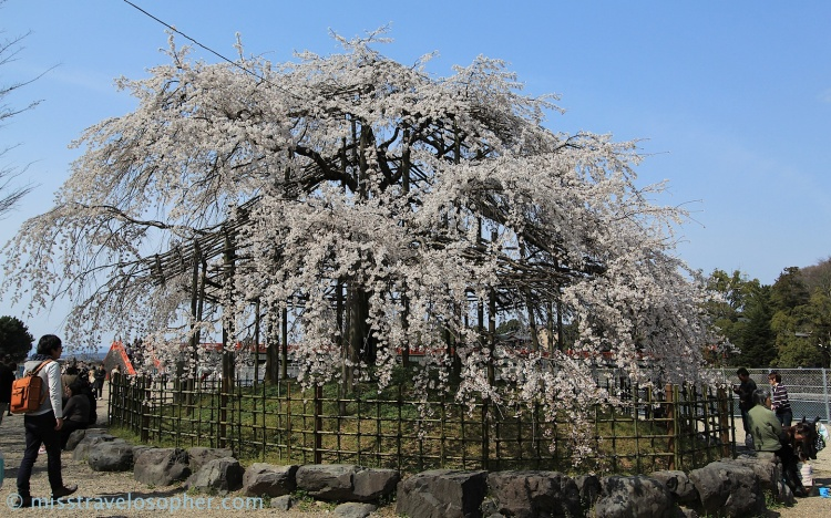 I love weeping cherry trees