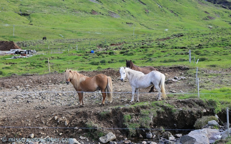 The beautiful Icelandic horses with their long manes and full tails