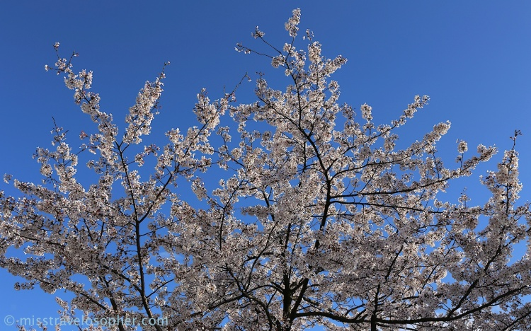 Beautiful blue skies accentuating the beauty of the white somei yoshino sakura flowers