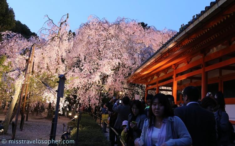Pretty sakura :) Super loves