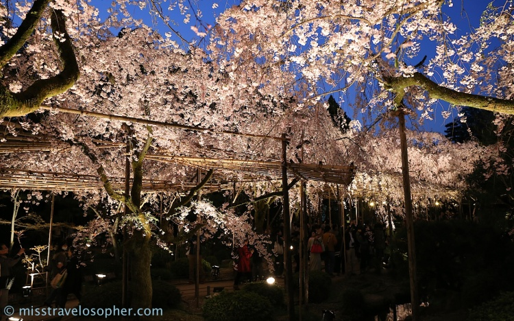 Entering the canopy of sakura flowers