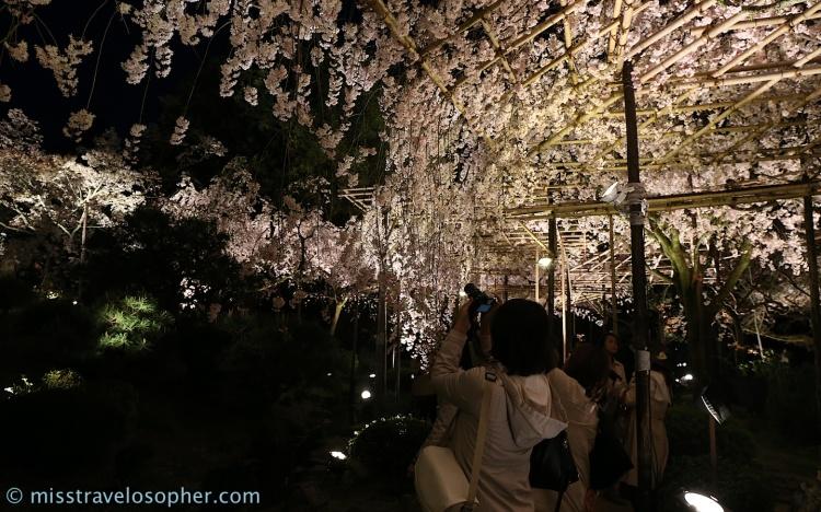 Weeping sakura trees are really pretty
